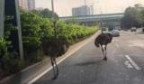 В Китае сбежавшие страусы устроили переполох на автостраде (видео)