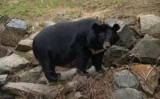 В США Три медведя забрался в пиццерию и съел всю колбасу (видео)